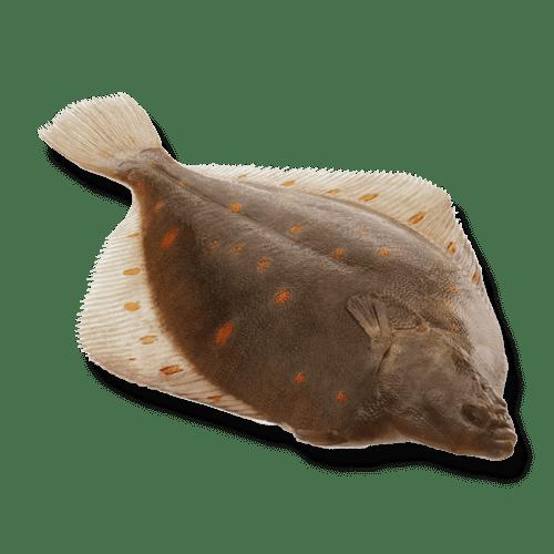isola-fish-noordzee-schol-heel